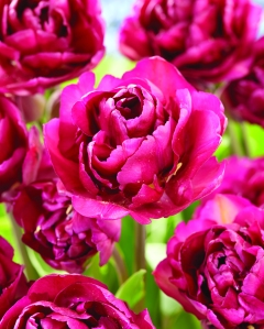 Tulipa Mariola