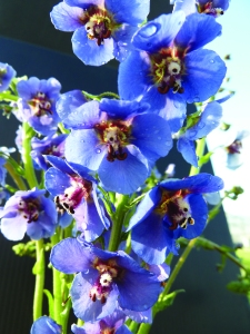 Verbascum Blue Lagoon CV