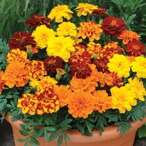 Marigold- traditional mixture!
