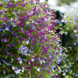 Lobelia- traditional mixture!