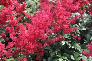 astilbe_ja_montgomery (1)_Supp Zenflora