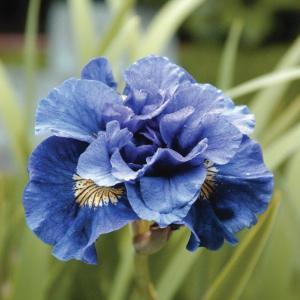 Iris Sibirica Concord Crush_Supp Walter Blom