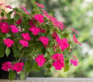 Impatiens walleriana (The Busy Lizzie)