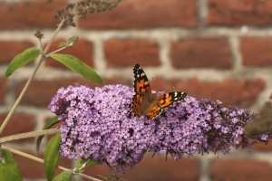 Buddleja (The Butterfly Bush)