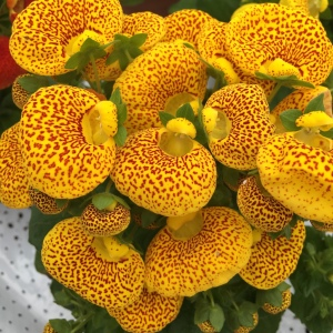 Calceolaria- The Balloon Flower