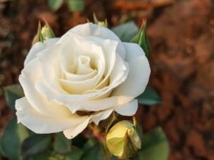 Rose 'Pope John Paul II'