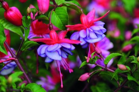 Unique picotée blooms