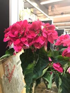 Cut flower Poinsettia