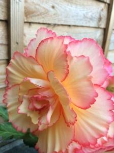 Begonia 'Sunburst'